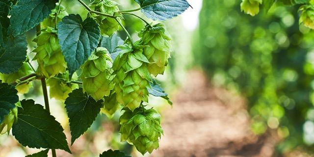 Hops and beer inside header